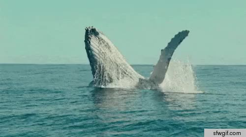Watch and share Waving Whale Large GIFs on Gfycat