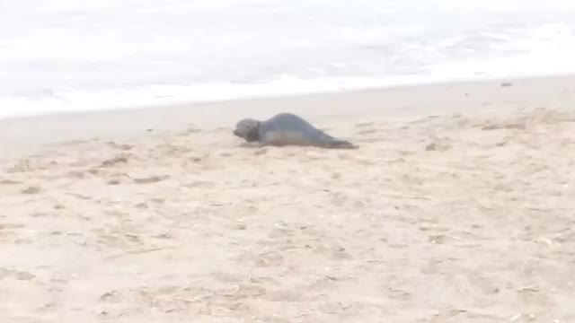 Watch and share Baby Seal On Skegness Beach GIFs by Dominic Brady on Gfycat