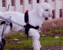 Watch you're the cop like buy a shovel GIF on Gfycat. Discover more animals, frostie the snow goat, gif, goats, so cute though GIFs on Gfycat