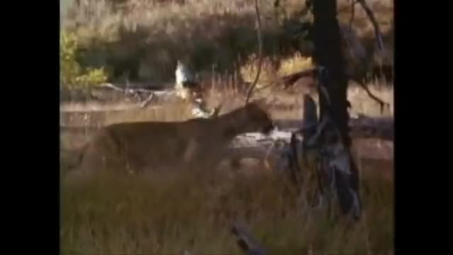 Watch Cougar attacks and kills elk GIF on Gfycat. Discover more cougar, kills, natureismetal GIFs on Gfycat