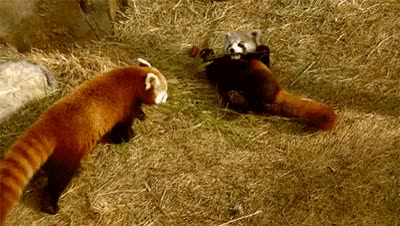 Watch this red panda GIF on Gfycat. Discover more animals GIFs on Gfycat