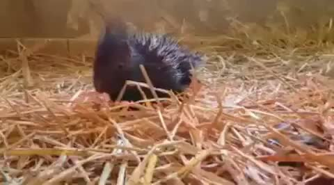 Curious baby porcupines inspecting their caretaker GIFs