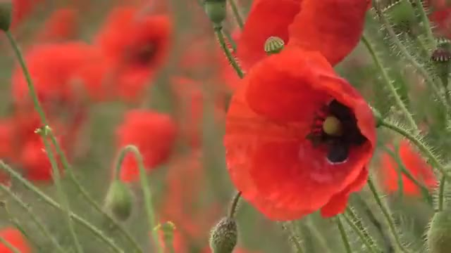 Watch Poppy GIF by Наташа Лаврентьева (@cleopatra) on Gfycat. Discover more nature, poppy fields, красное, мак, поле, природа, цветы GIFs on Gfycat