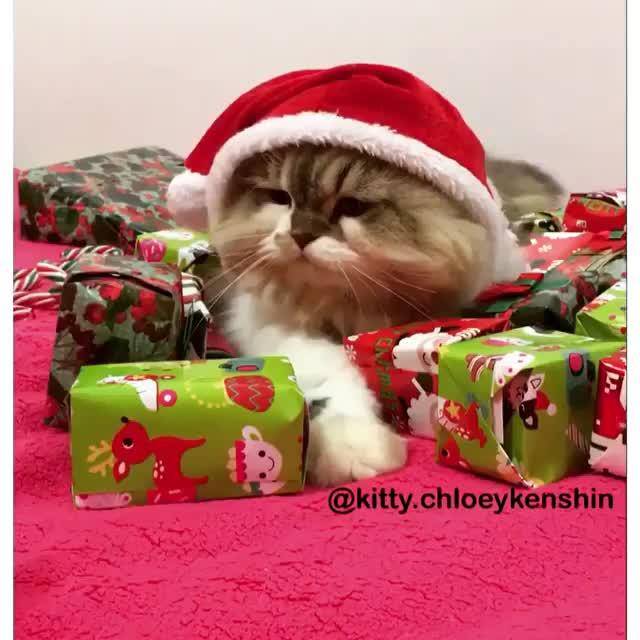 Watch Video by kitty.chloeykenshin GIF by @likkaon on Gfycat. Discover more AnimalsBeingJerks, CatGifs GIFs on Gfycat