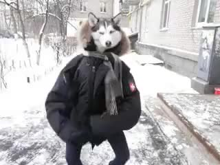 Watch and share Dance GIFs and Husky GIFs on Gfycat
