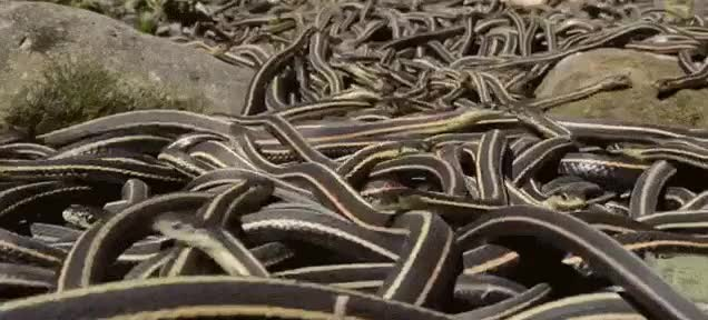 Watch and share Snake Orgy. GIFs on Gfycat