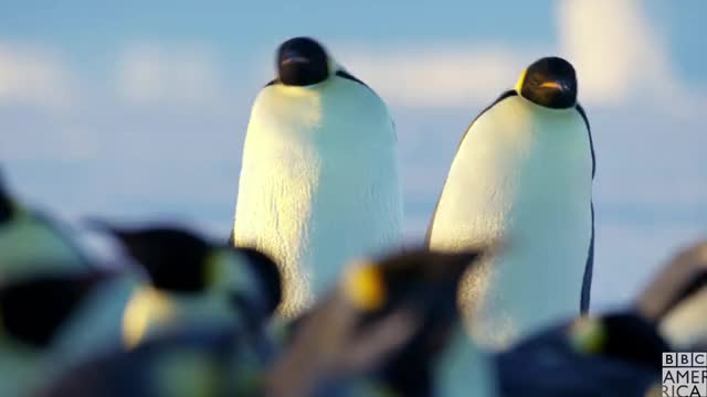 Watch this advert GIF by BBC America (@bbcamerica) on Gfycat. Discover more animal, animals, bbc america, bbc america dynasties, bbc america: dynasties, dynasties, emperor penguin, emperor penguins, let's go, penguin, penguins, sleepy, slow, tired, waddle GIFs on Gfycat
