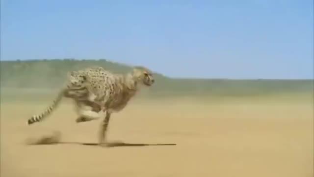 Watch and share Cheetah Running GIFs on Gfycat