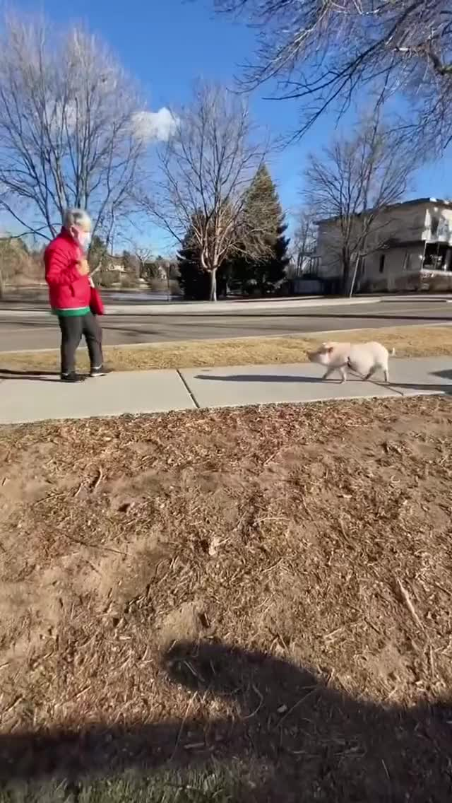 Watch and share Pigs Greeting Visitors At The Park GIFs by lnfinity on Gfycat