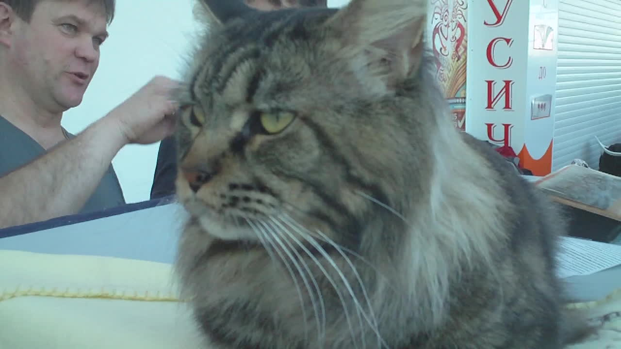 mainecoons, russian maine coon GIFs