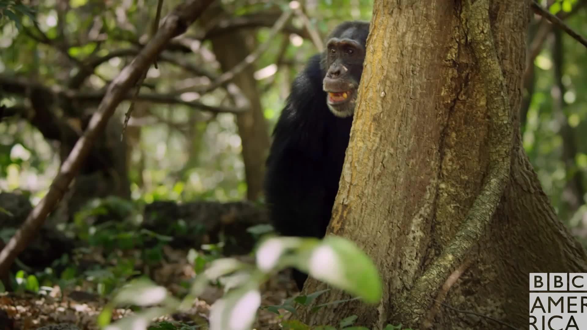 animal, animals, bbc america, bbc america dynasties, bbc america: dynasties, chimp, chimpanzee, chimpanzees, chimps, dynasties, Dynasties Chimp Yawn GIFs