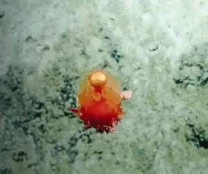 Watch and share Cnidaria GIFs and Deep Sea GIFs on Gfycat