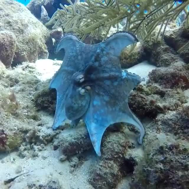 Watch and share Bluetiful Octopus 🎥 Dive Bus Curacao GIFs by PM_ME_STEAM_K3YS on Gfycat
