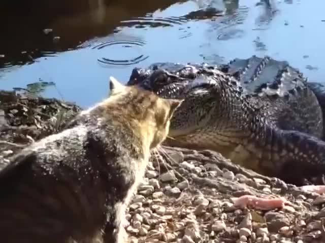 Watch and share Cat Alligator GIFs on Gfycat