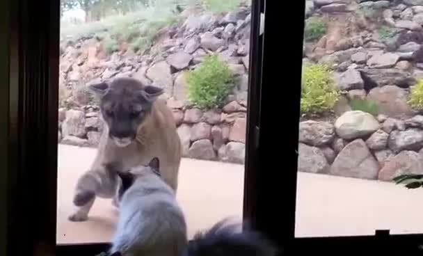 House Cat Seems Unfazed by a Giant Mountain Lion Outside Window GIFs
