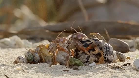 Watch and share Hermit Crab GIFs on Gfycat