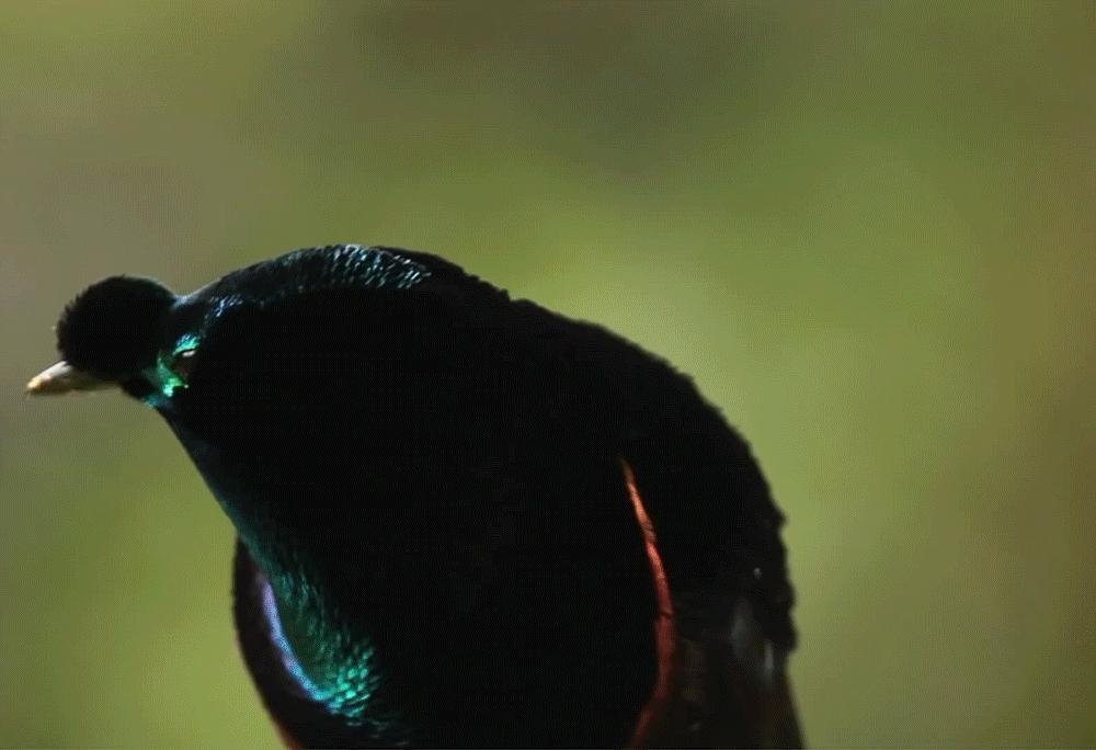 naturegifs, Birds of Paradise part 4 (final one) (reddit) GIFs