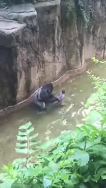 Watch Gorilla zoo boy: did Harambe at Cincinnati Zoo deserve to die? - TomoNews GIF on Gfycat. Discover more related GIFs on Gfycat
