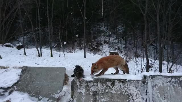 Watch Fox teaching some jungle rules to home cat GIF on Gfycat. Discover more AnimalsBeingJerks, animalsbeingjerks GIFs on Gfycat