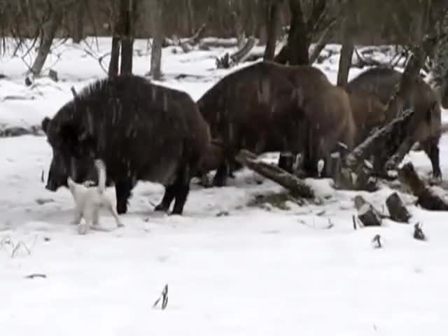 Watch and share Wild Boar GIFs and Hunting GIFs by likkaon on Gfycat
