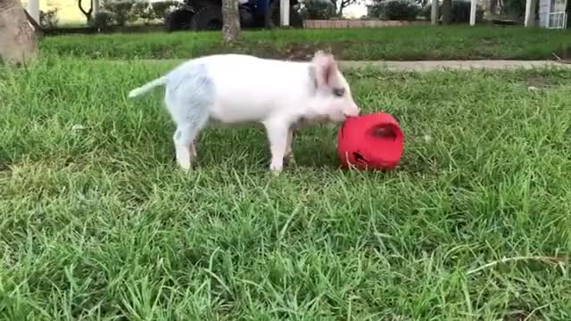 Watch and share Animals Playing GIFs and Pig And Ball GIFs by lnfinity on Gfycat