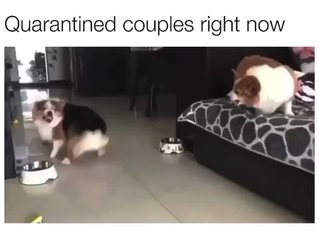Watch and share Corgis Argue GIFs by cryogenic on Gfycat