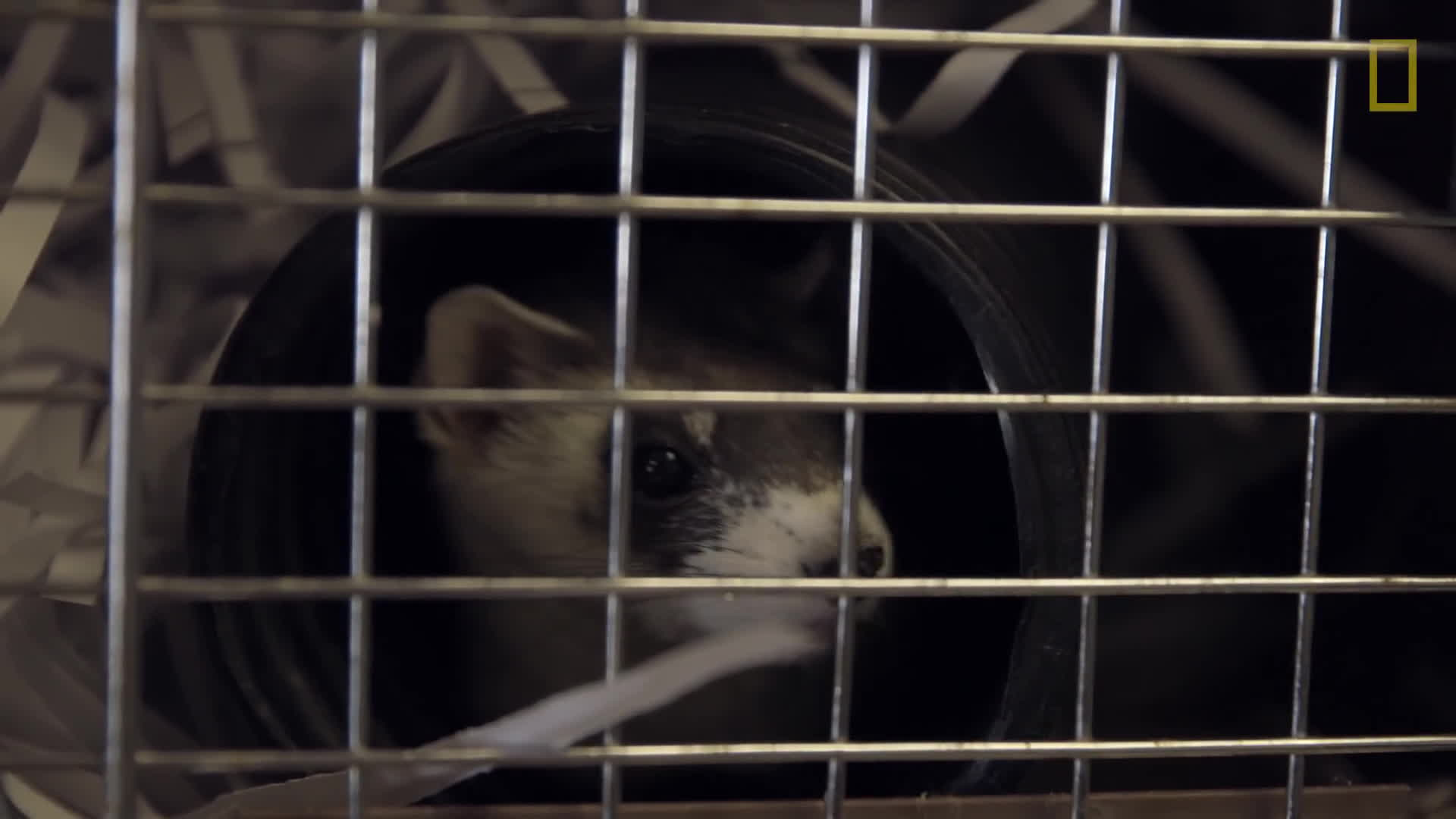 endangered, ferrets, gifs, Harsh Reality of Saving Endangered Ferrets GIFs