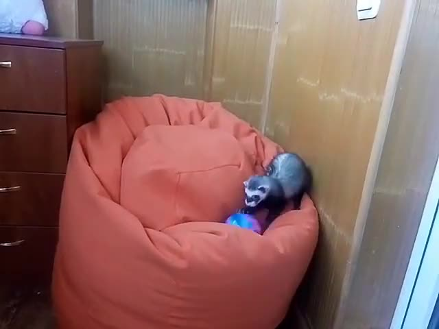Watch Soccer playing ferret Elly GIF by PM_ME_STEAM_K3YS (@pmmesteamk3ys) on Gfycat. Discover more cute, top 10, top funny GIFs on Gfycat