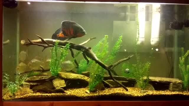 Watch 600L Tank Before feeding GIF by @brendanm8 on Gfycat. Discover more Aquarium, Convict, Oscar GIFs on Gfycat