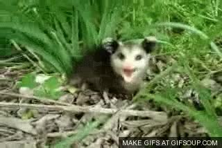 Watch and share ALL HAIL THE POSSUM GIFs on Gfycat