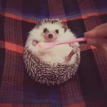 Cute Hedgehog Wants the Food GIFs