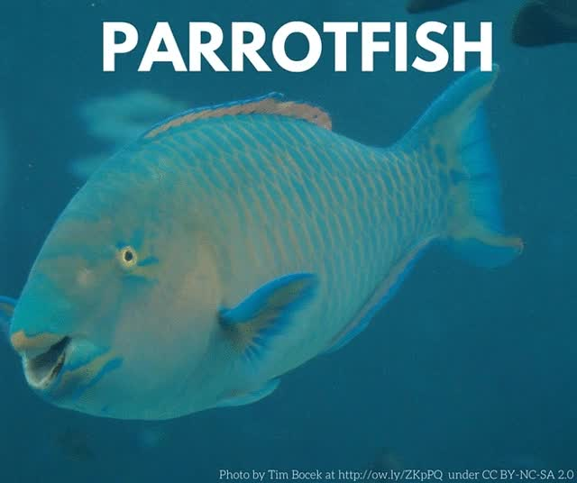 Watch Parrotfish is a coral's best friend GIF on Gfycat. Discover more biology, corals GIFs on Gfycat
