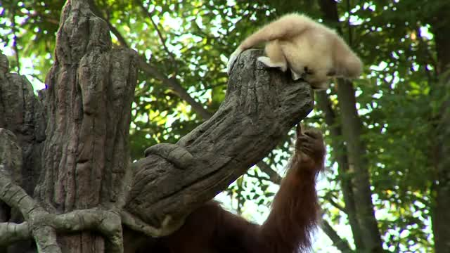 Watch Orangutan Loves Gibbon Baby - Cincinnati Zoo GIF by @perpetualecho on Gfycat. Discover more Botanical, Cincinnati, Garden, Zoo, and, animal, baby, conservation, gibbon, white-handed GIFs on Gfycat