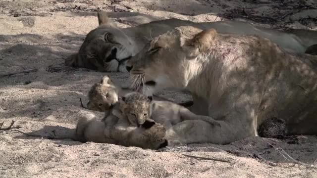 Watch and share Cubs Playing Gfy GIFs by Londolozi Game Reserve on Gfycat