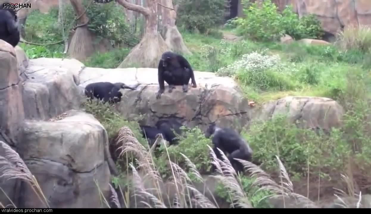 Attack, Chimps, Louis, Raccoon, St, Zoo, at, coon toss small GIFs