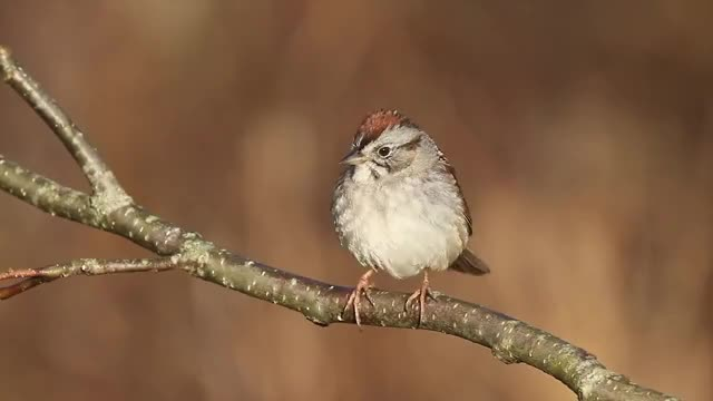 Watch Swamp Sparrow GIF on Gfycat. Discover more Marsh, McElroy, bird, birding, birds, com, feeder, garth, maine, paya, sing, song, sparrow, swamp, wild, wildbirds GIFs on Gfycat