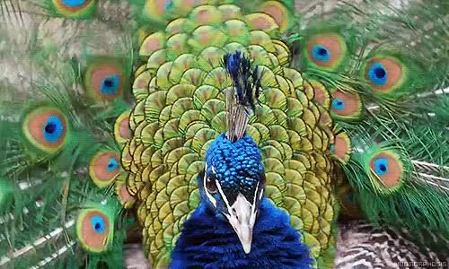 Watch and share Peacock GIFs on Gfycat