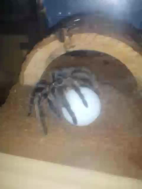 awwnverts, tarantulas,  GIFs