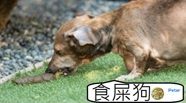 Watch and share 【 我 Peter 係食屎狗 】 GIFs on Gfycat