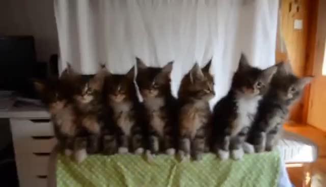 Maine Coon Kittens cute dancing GIFs