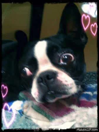 Watch and share Boston Terrier GIFs on Gfycat