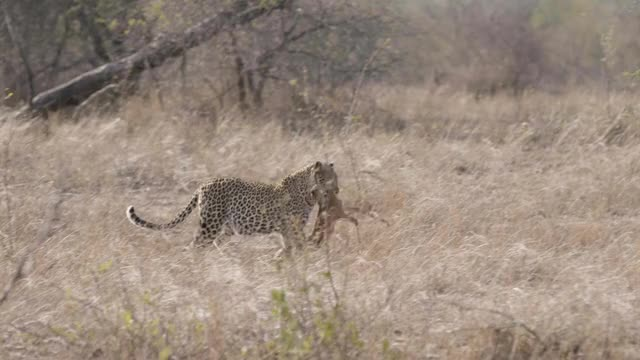 Watch and share Mashaba Carry Kill GIFs by Londolozi Game Reserve on Gfycat