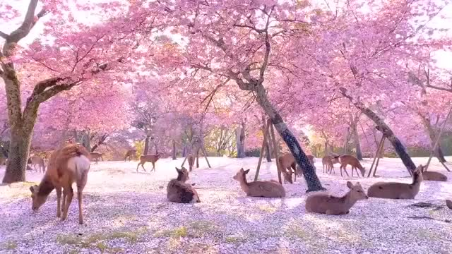 Watch and share Cherry Blossom GIFs and Japan GIFs on Gfycat