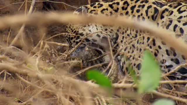 Watch and share Caiman Kill Surprises Capybara GIFs by kutowi on Gfycat