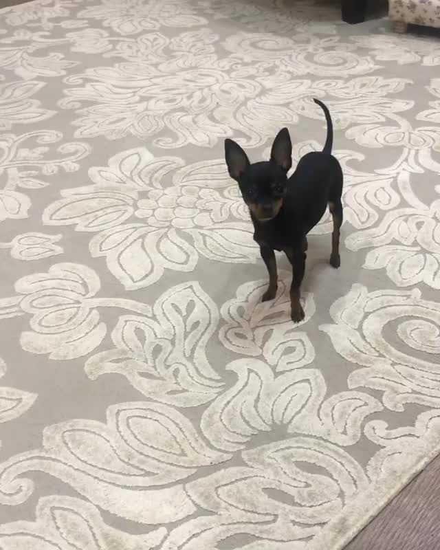 Watch and share Toyterriers GIFs and Русскийтой GIFs by inna1lakhina on Gfycat
