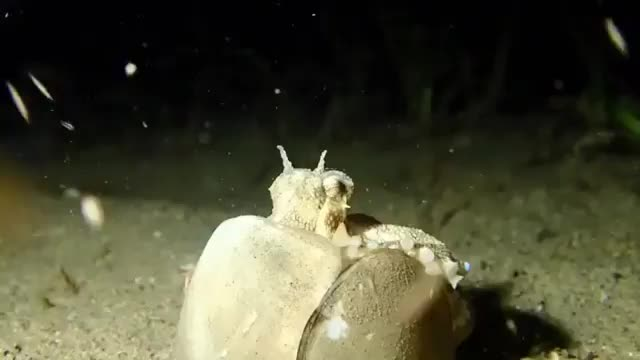 nature, Coconut octopus taking all his belongings and moving elsewhere GIFs