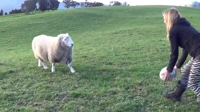 Watch this sheep GIF by GIF Queen (@ioanna) on Gfycat. Discover more GIF Brewery, animal, animals, ball, funny, gif brewery, lamb, player, rugby, sheep GIFs on Gfycat