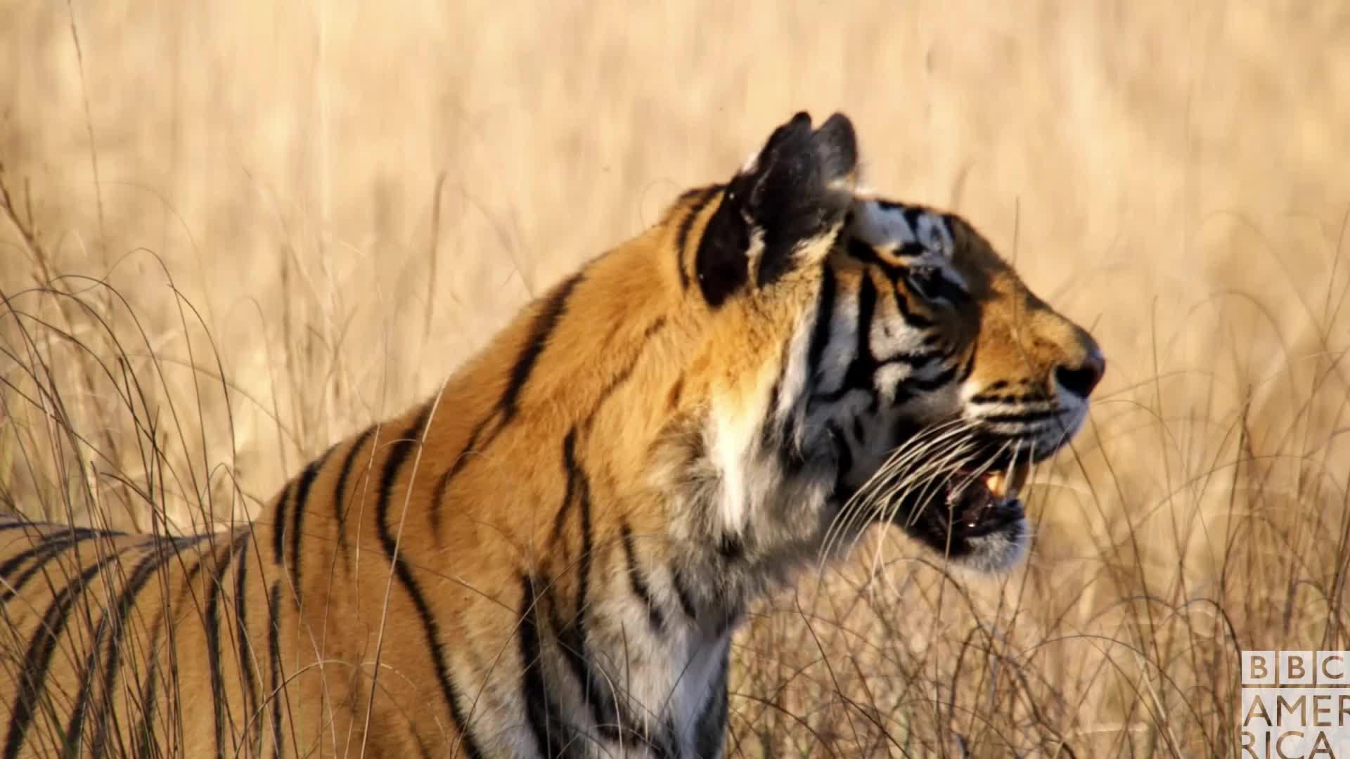 animal, animals, bbc america, bbc america dynasties, bbc america: dynasties, dynasties, hmm, thinking, tiger, tigers, umm, what, Dynasties Tiger What GIFs