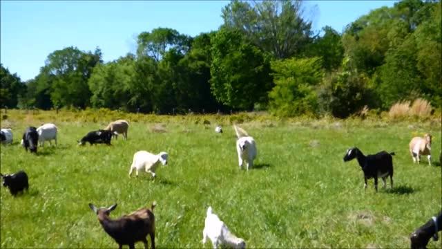 Watch and share Knsfarm GIFs and Goats GIFs by KNS Farm on Gfycat