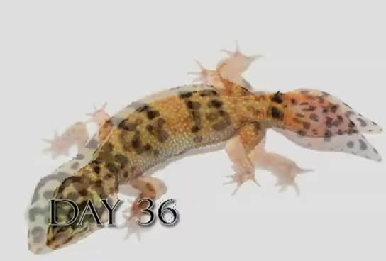 Watch and share Leopard Gecko Time Lapse Tail Regeneration (Regenerated Leopard Gecko Tail) GIFs on Gfycat